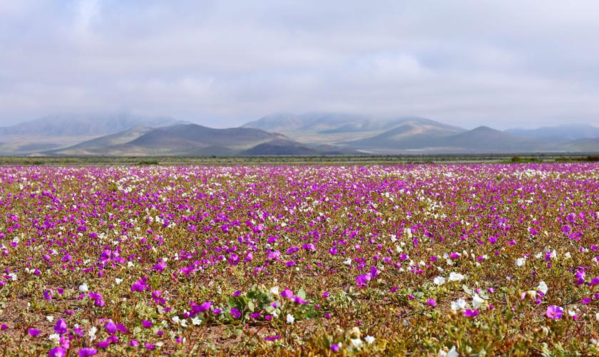Desiertos Floridos En Chile Cómo Se Protegen Estos Paisajes únicos